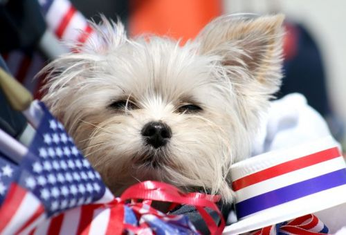 West Highland White Terrier surrounded by American flags