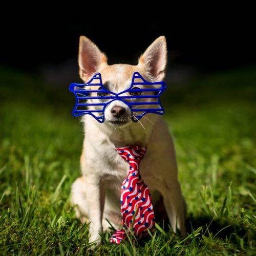 Chihuahua wearing star shaped sunglasses and a stars and stripes tie